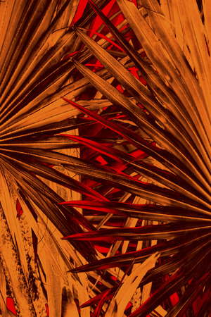 sharply: Abstract, orange and red, sharply pointed radiating blades from a Florida palmetto plant cross in the center. Stock Photo