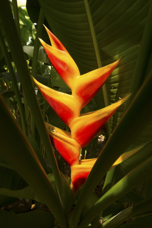 photosynthetic: Bright red, lobster claw flowers in shadows of a heliconia plant in south Florida.