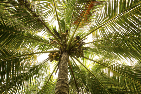 photosynthetic: Looking up into a coconut palm tree with coconuts on a warm spring day in south Florida.