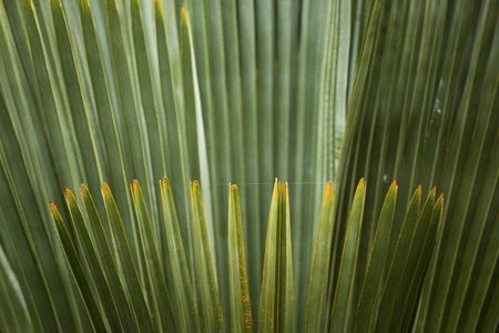 photosynthetic: Abstract linear patterns of overlapping palm leaves in south Florida. Stock Photo