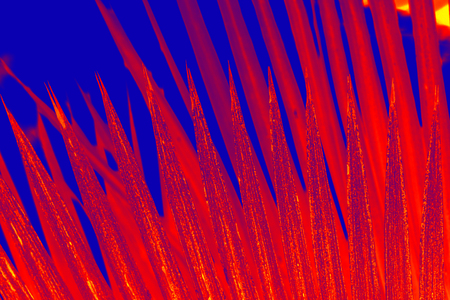 Sharply pointed, red leaf tips from a south Florida palmetto, contrast with a blue background.
