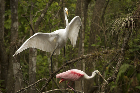 Great egret with wings outspread towers over a roseate spoonbill while perched on branches of a tree at Corkscrew Swamp in the Florida Everglades. Stock Photo