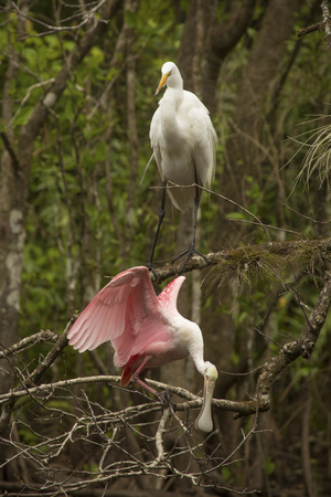 Roseate spoonbill with wings outspread and great egret are both perched in branches of a tree over the water at Corkscrew Swamp in the Florida Everglades.