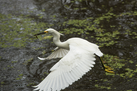Snowy egret with a fish in its bill flies off over a pool of water at Corkscrew Swamp in the Florida Everglades.
