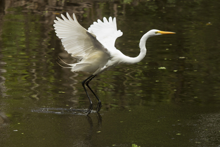 Great egret flies low over a shallow pool, dragging its feet in the water at Corkscrew Swamp in the Florida Everglades.