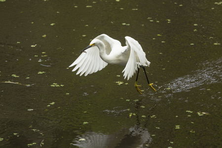 Snowy egret flies away with a fish in its bill, feet dragging in a shallow pool at Corkscrew Swamp in the Florida Everglades.
