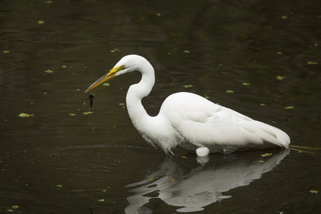Side view of a Great egret, Ardea alba, standing in the water with a bullhead catfish dangling from its bill at Corkscrew Swamp in the Florida Everglades.