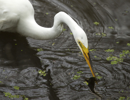 bullhead: Great egret, Ardea alba, standing in the water with a bullhead catfish in its bill at Corkscrew Swamp in the Florida Everglades.