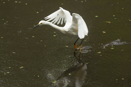Snowy egret, Egretta thula, flying low over a pond while dragging its feet in the water at Corkscrew Swamp in the Florida Everglades.