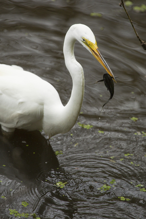 Great egret, Ardea alba, standing in the water with a bullhead catfish in its bill at Corkscrew Swamp in the Florida Everglades.