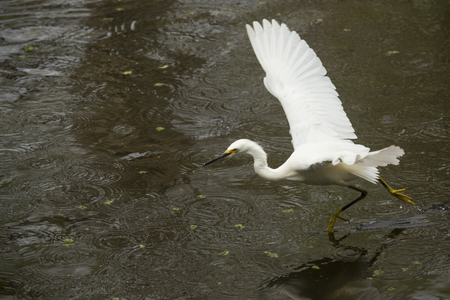 skimming: Snowy egret, Egretta thula, running on the water of a pond at Corkscrew Swamp in the Florida Everglades.