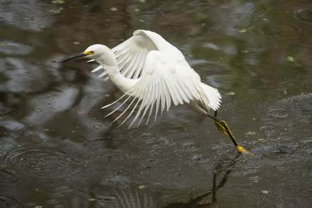 Snowy egret, Egretta thula, flying low over a pond, dragging its feet in the water at Corkscrew Swamp in the Florida Everglades.