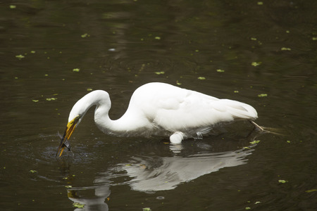 Side view of a Great egret, Ardea alba, standing in the water with a bullhead catfish crosswise in its bill at Corkscrew Swamp in the Florida Everglades.
