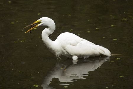 Side view of a Great egret, Ardea alba, standing in the water with a bullhead catfish in its bill at Corkscrew Swamp in the Florida Everglades.