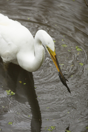 facing right: Great egret, Ardea alba, standing in the water with a bullhead catfish in its bill at Corkscrew Swamp in the Florida Everglades.