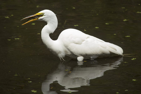 Side view of a Great egret, Ardea alba, standing in the water with a bullhead catfish in its throat at Corkscrew Swamp in the Florida Everglades.