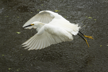 Snowy egret, Egretta thula, flying low over a pond with a fish in its bill at Corkscrew Swamp in the Florida Everglades. Stock Photo