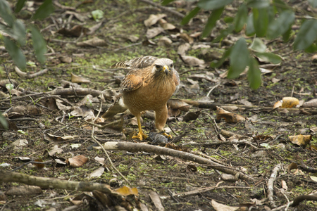 bullhead: Red shouldered hawk,  Buteo lineatus, on the ground with a black bullhead catfish in its talons in the Florida everglades.