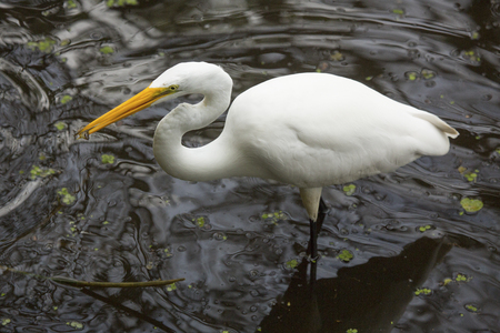 wildlife preserve: Closeup of a great egret, Ardea alba, standing in the water with a fish in its bill at Corkscrew Swamp in the Florida Everglades.