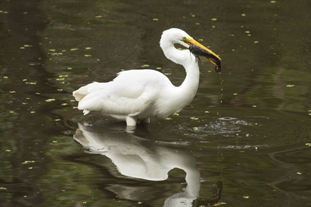 facing right: Side view of a Great egret, Ardea alba, standing in the water with a bullhead catfish in its bill at Corkscrew Swamp in the Florida Everglades.