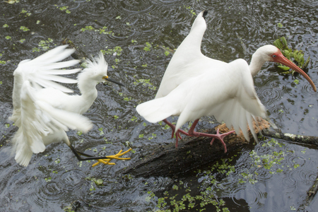 Snowy egret, Egretta thula, aggressively defending territory against a white ibis standing on a log in the Florida everglades.