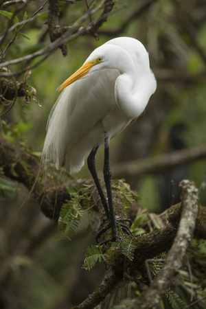 Great egret, Ardea alba, perched on a branch over the water at Corkscrew Swamp in the Florida Everglades. Stock Photo