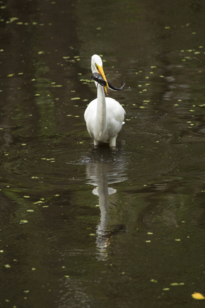 bullhead: Side view of a Great egret, Ardea alba, standing in the water with a bullhead catfish in its bill at Corkscrew Swamp in the Florida Everglades.