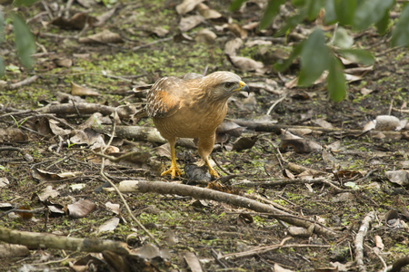 facing right: Red shouldered hawk,  Buteo lineatus, on the ground with a black bullhead catfish in its talons in the Florida everglades.