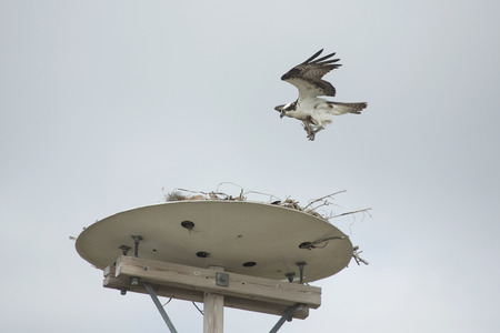 Osprey, Pandion haliaetus, bringing nesting material to a platform high above North Beach at Fort De Soto Park in St. Petersburg, Florida.