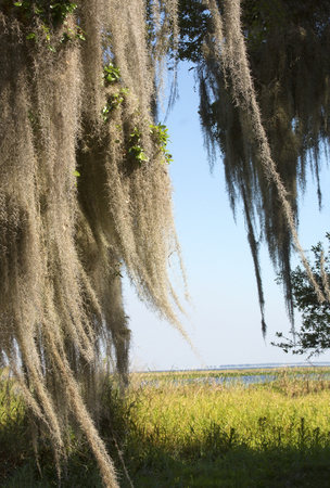 Lush tropical woods with abundant Spanish moss draping branches of live oak trees at Kissimmee State Park in central Florida. 스톡 콘텐츠
