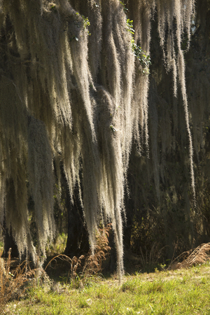 Lush tropical woods with abundant Spanish moss draping branches of live oak trees at Kissimmee State Park in central Florida. Banco de Imagens