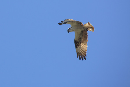 Osprey, Pandion haliaetus, soaring in a blue sky in central Florida, looking down.