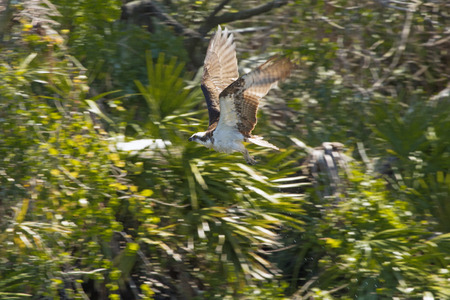 Osprey, Pandion haliaetus, flying against shrubs at a swamp in central Florida.