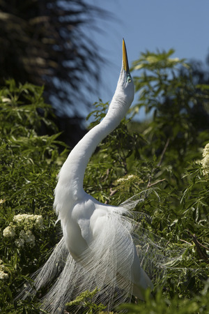 Great egret , Ardea alba, perched in shrubs at a rookery in central Florida,dramatically displaying its long breeding plumage.