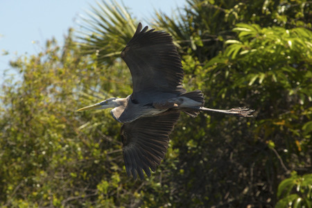 Great blue heron, Ardea herodias, flying with shrubs in the background in central Florida.