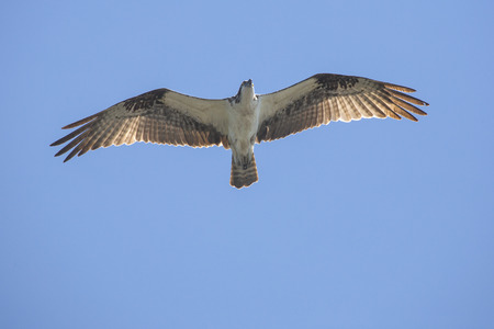 Osprey, Pandion haliaetus, soaring in a blue sky in central Florida.