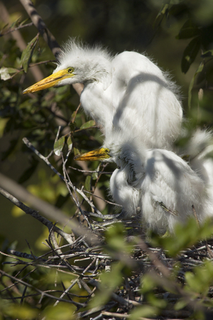 Great egret babies, Ardea alba, in the nest at a rookery in central Florida. Stock Photo