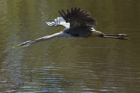 Great blue heron, Ardea herodias, flying low over the water in central Florida.