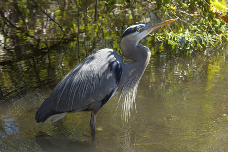 Great blue heron, Ardea  herodias, standing compactly in the water in central Florida. Stock Photo