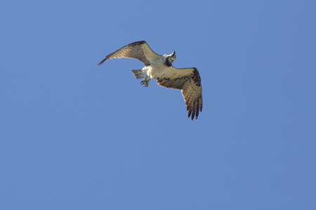 Osprey, Pandion haliaetus, soaring in a blue sky in central Florida, shaking off swamp water in its feathers.