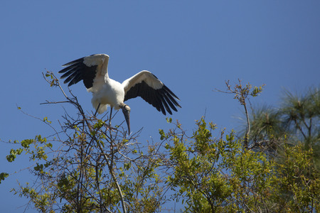 Wood stork, Mycteria americana, perched precariously in a tree in central Florida.