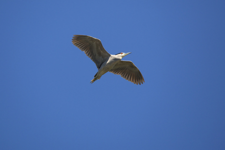 Black crowned night heron, Nycticorax nycticorax, flying over a swamp in central Florida in springtime.