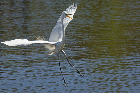 facing right: Great egret, Ardea alba, landing in shallow water with its wings outspread and its bill open, at a swamp in central Florida.
