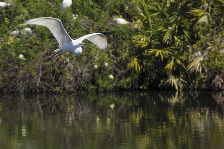 facing right: Great egret, Ardea alba, flying from shrubs over water at a rookery in central Florida.