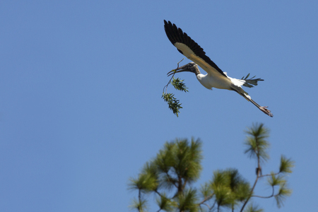 Wood stork, Mycteria americana, flying with nesting material in its beak at a swamp in central Florida.