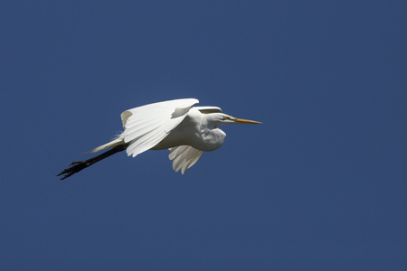 wildlife preserve: Great egret, Ardea alba, flying in a blue sky over a swamp in central Florida. Stock Photo