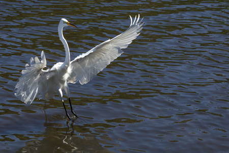 facing right: Great egret, Ardea alba, landing in shallow water with its wings outspread, at a swamp in central Florida. Stock Photo
