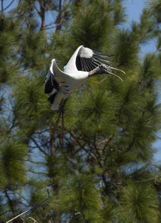 Wood stork, Mycteria americana, coming in for a landing with pine trees in the background in central Florida.