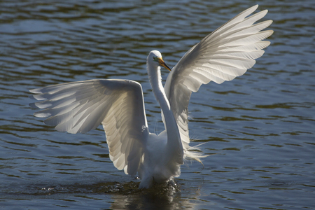 Great egret, Ardea alba, wading in shallow water with its wings outspread, at a swamp in central Florida. Stock Photo