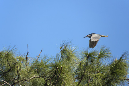 Black crowned night heron, Nycticorax nycticorax, flying over pine branches in central Florida in springtime.